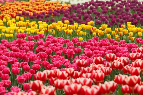 Ogród tulipanowy