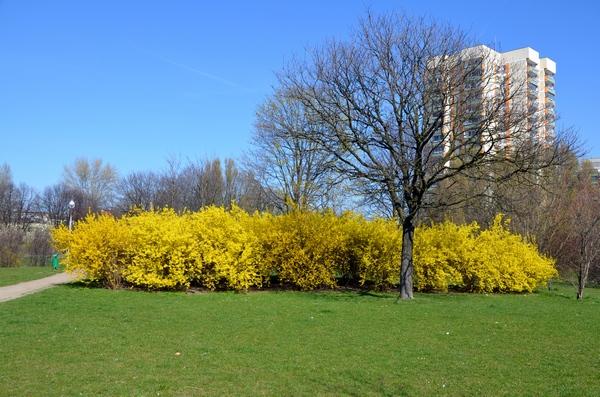 Żółte krzewy