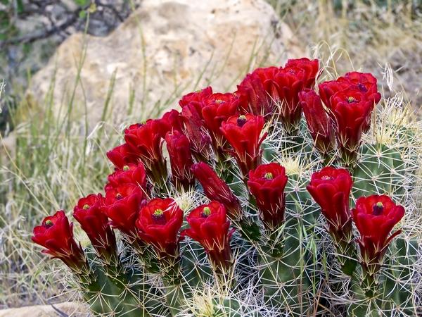 Zdjęcia kaktusów - kwiaty