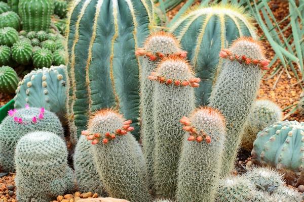 Zdjęcia kaktusów - nawożenie