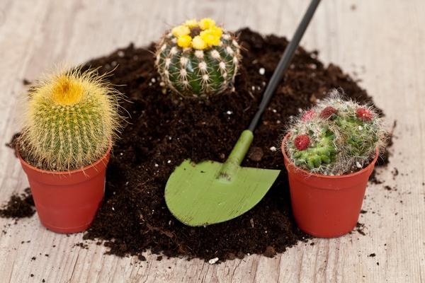 Zdjęcia kaktusów - podłoże