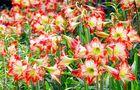 Kwitnący amarylis