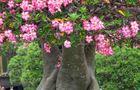 Kwitnące adenium