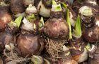 Cebulki amarylisa w okresie spoczynku
