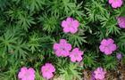 Bodziszek czerwony - Geranium sanguineum