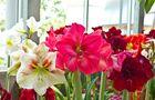 Kolory kwiatów amarylisa