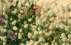 Dmuszek jajowaty - Lagurus ovatus