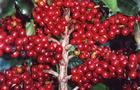 Drzewko Kawowe, Kawa - Coffea arabica