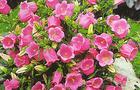 Dzwonek ogrodowy - Campanula medium