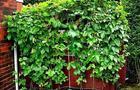 Fasola ozdobna, wielokwiatowa - Phaseolus
