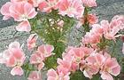 Godecja, Azalia letnia, Marszawa - Godetia grandiflora