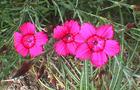 Goździk kropkowany - Dianthus deltoides