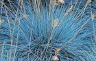 Kostrzewa Popielata – Festuca glauca