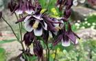 Orlik pospolity - Aquilegia vulgaris