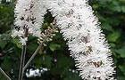Pluskwica gałęziasta – Cimicifuga ramosa