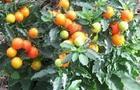 Psianka - Solanum