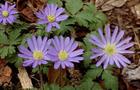 Zawilec grecki – Anemone blanda