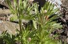 Zawilec wielosieczny - Anemone x lesseri