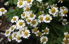 Złocień właściwy - Chrysanthemum maximum