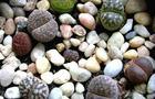 Żywe kamienie, Kamyk, Litops- Lithops