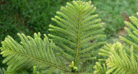 Araukaria wyniosła - Araucaria heterophylla