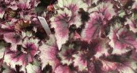 Begonia królewska - Begonia rex