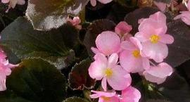 Begonia stale kwitnąca - Begonia semperflorens