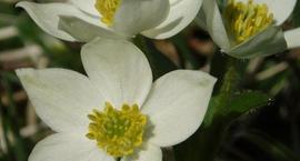 Ciemiernik biały - Helleborus niger