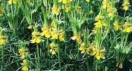 Czarnuszka orientalna - Nigella orientalis
