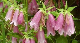 Dzwonek kropkowany - Campanula punctata