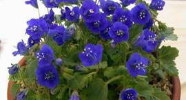 Facelia dzwonkowata - Phacelia campanularia