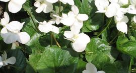 Fiołek motylkowaty - Viola sororia