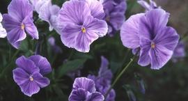 Fiołek rogaty - Viola cornuta Miniatur