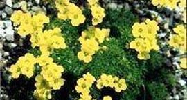 Głodek kosmaty - Draba lasiocarpa