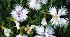 Goździk majowy - Dianthus gratianopolitanus
