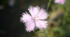 Goździk zaniedbany - Dianthus pavonius
