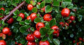 Irga, Irgi – Cotoneaster Medik