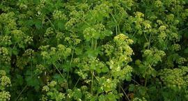 Lubczyk, lubczyk ogrodowy