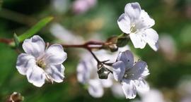 Łyszczec rozesłany - Gypsophila repens