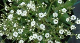 Łyszczec wiechowaty - Gypsophila paniculata