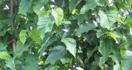 Magnolia drzewiasta - Magnolia acuminata