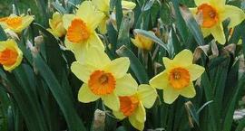Narcyz, Narcyzy  - Narcissus