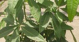 Pachira (Pachira wodna, Drzewo butelkowe)- Pachira aquatica