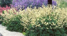 Parzydło blekotolistne - Aruncus aethusifolius