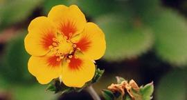 Pięciornik - Potentilla argyrophylla