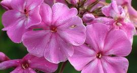 Płomyk wiechowaty - Phlox paniculata