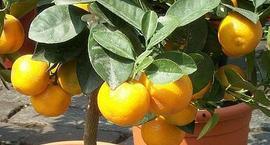 Pomarańcza – Drzewo pomarańczowe