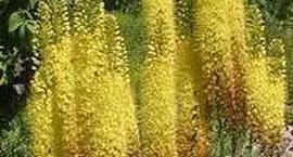 Pustynnik wąskolistny – Eremurus stenophyllus
