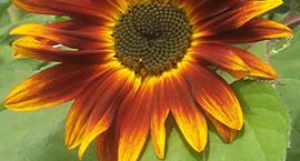 Słonecznik ozdobny - Helianthus annuus