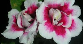 Syningia ogrodowa, Gloksynia - Sinningia hybryda